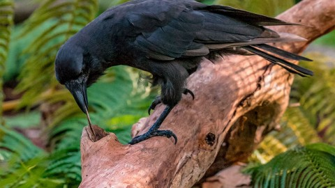 The Greedy Crow