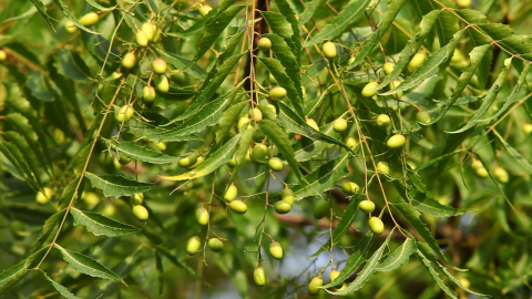 The Benefits Of Neem